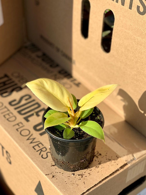 Philodendron 'Melonii Gold'