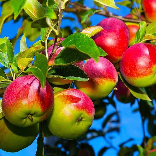 Malus domestica 'McIntosh' Apple Tree