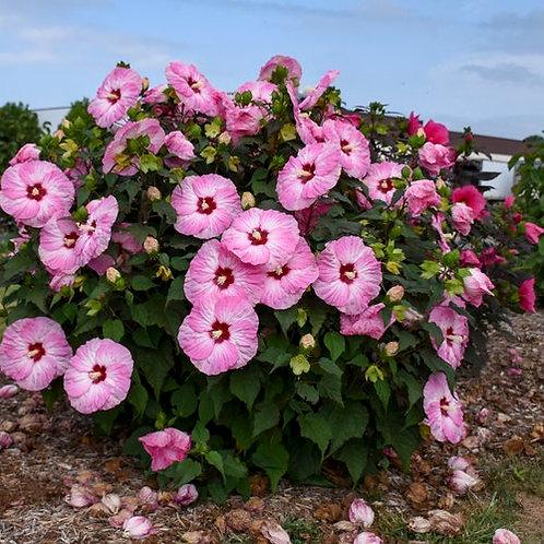 Perennial Hibiscus 'Spinderella'