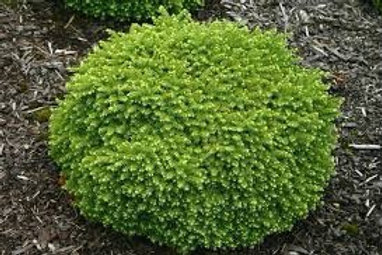 Picea abies 'Little Gem' Spruce