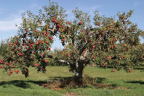 Malus x domestica 'Red Delicious' Apple Tree