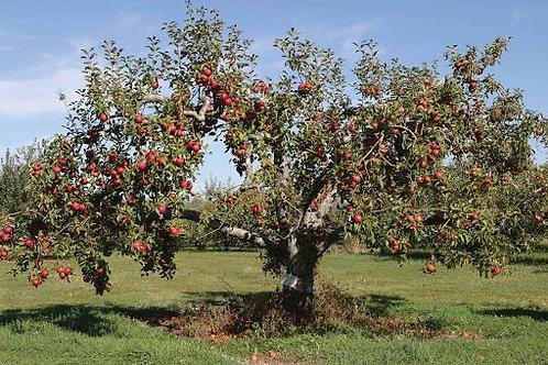 Malus x domestica 'Red Delicious' Apple Tree
