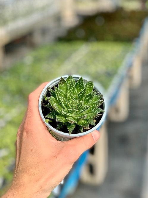 Aloe 'Aristata'