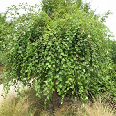 Salix Caprea 'Pendula' Weeping Pussy Willow