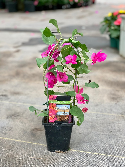 "5"" Bougainvillea on Trellis"