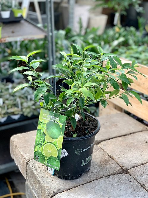 "8"" Small Lime Bush"