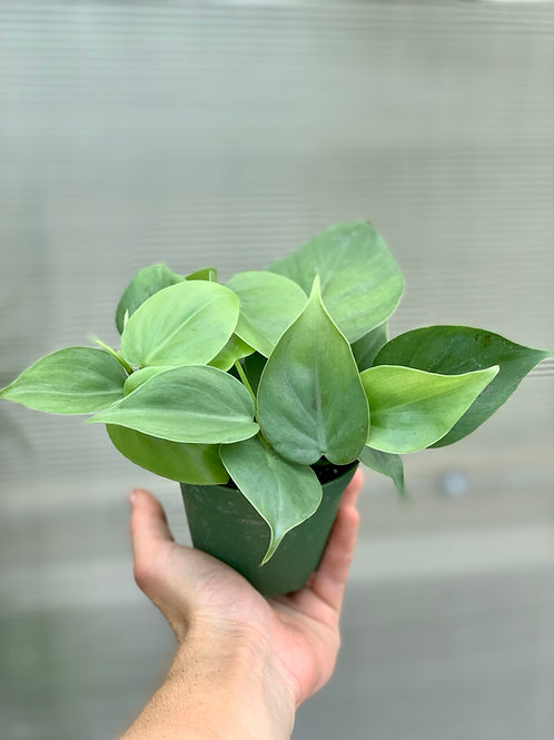 Philodendron 'Cordatum' Heart Leaf