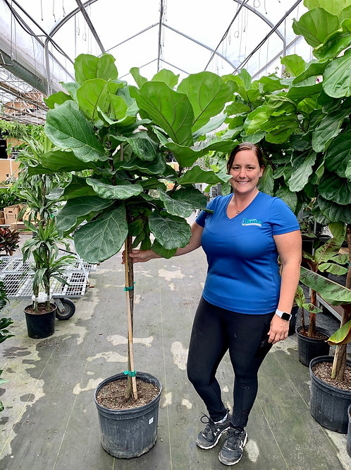 Ficus Lyrata Standard 'Fiddle Leaf Fig'