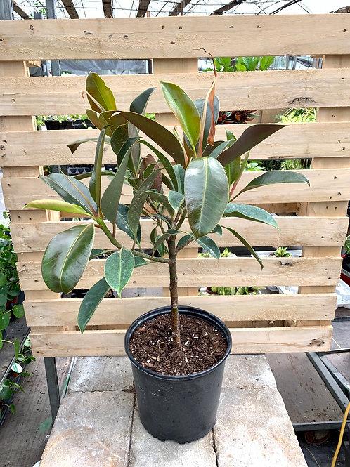 Ficus Elastica 'Melany' Tree