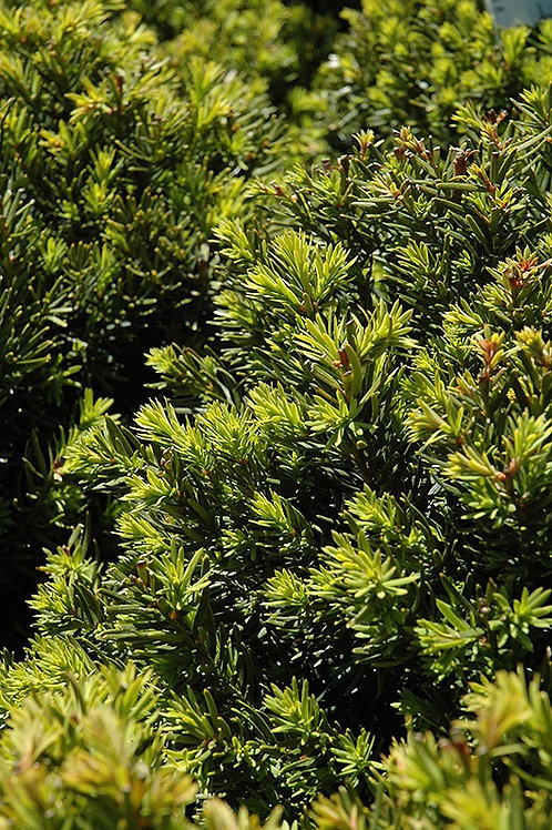 New Selection Dense Yew