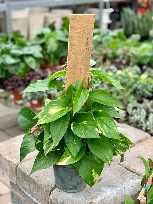 Golden Pothos Small Wood Totem