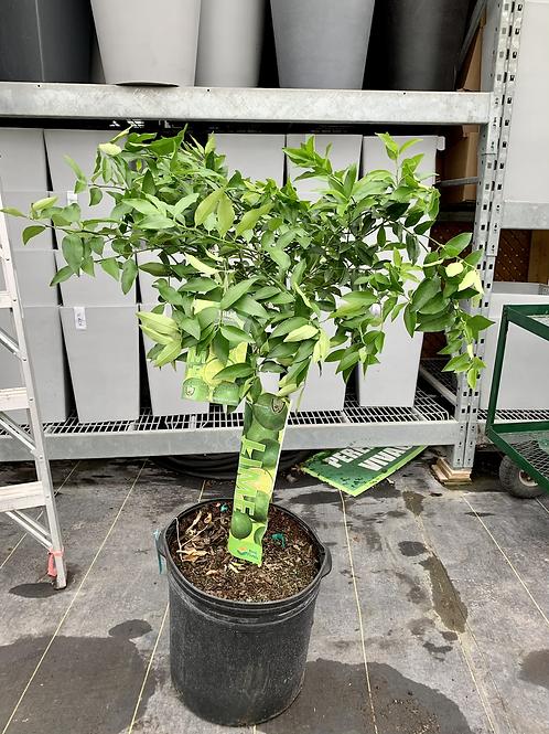 10 Gallon Lime Tree