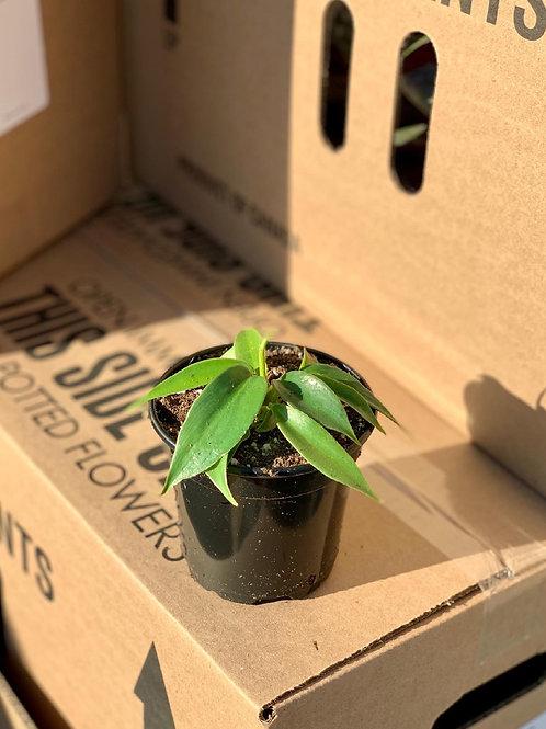 Philodendron 'Squamiferum'