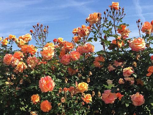 Rose 'Tangerine Skies' Arborose