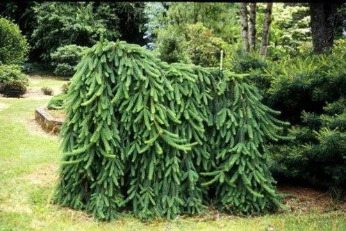 Picea abies 'Pendula' Weeping Norway Spruce