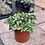 Thumbnail: Fittonia / Green & White Nerve Plant