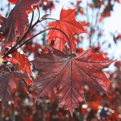 Acer platanoides 'Crimson King' Maple