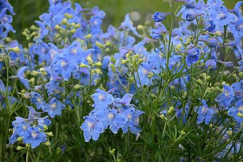 Delphinium grandiflorum 'Summer Blues'