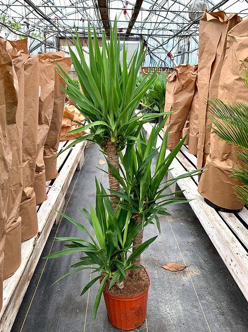 Yucca Cane 3-2-1