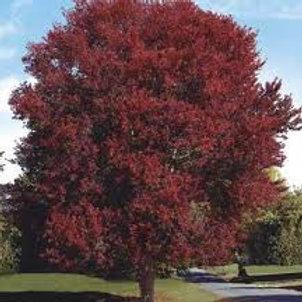 Acer Rubrum 'Magnificent Magenta' Burgundy Belle Maple Tree