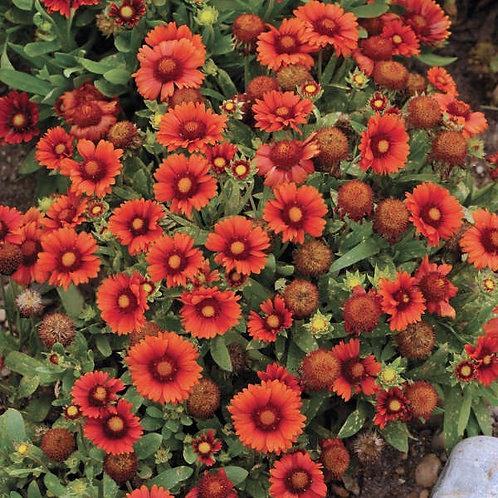 Gaillardia aristata 'Arizona Red Shades' Blanket Flower