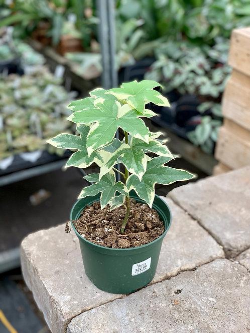 Fatshedera Variegated Ivy Tree