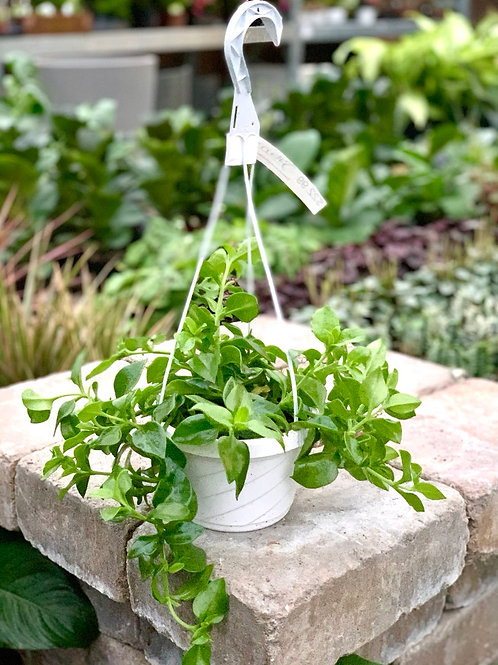 Aptenia Cordifolia 'Green Cat Tongue' Hanging Basket