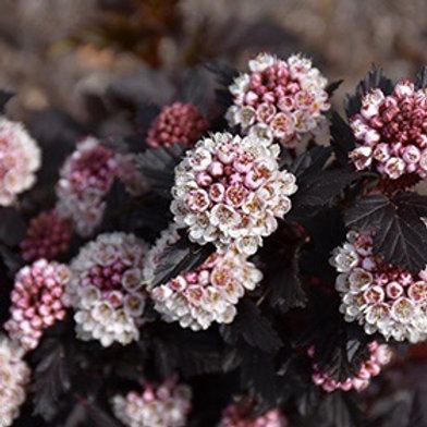 Physocarpus 'Royal Jubilee' Ninebark