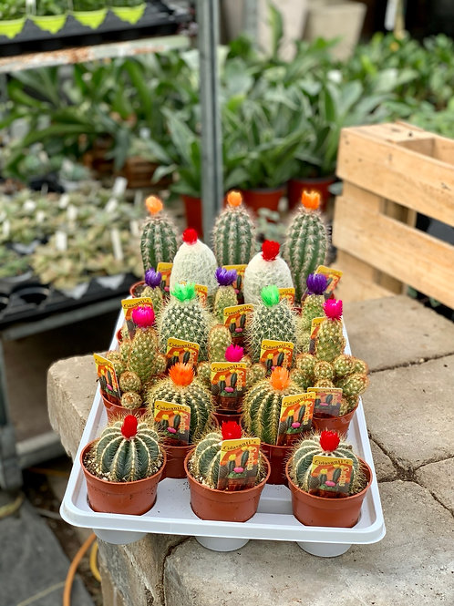Assorted Cacti with Strawflower