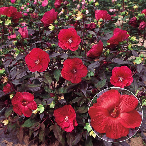 Perennial Hibiscus 'Midnight Marvel'