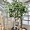 Thumbnail: Ficus 'Audrey' Standard