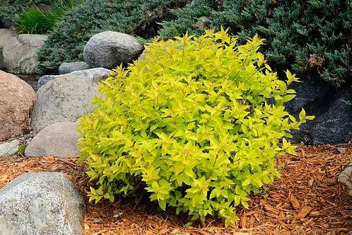 Spirea japonica 'Gold Mound'