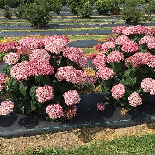 Hydrangea 'Incrediball Blush'