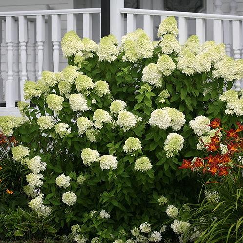 Hydrangea paniculata 'Limelight' PW