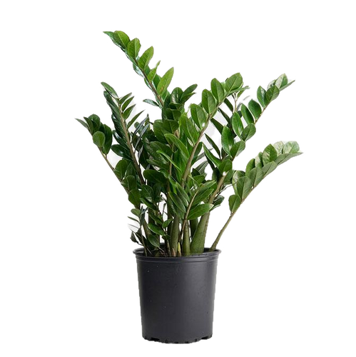 Zz Plant In Basket