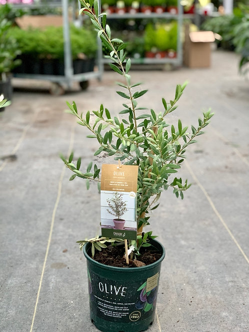 Olive Plant