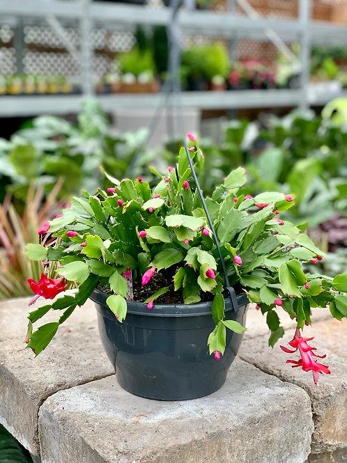 Holiday Cactus Hanging Basket