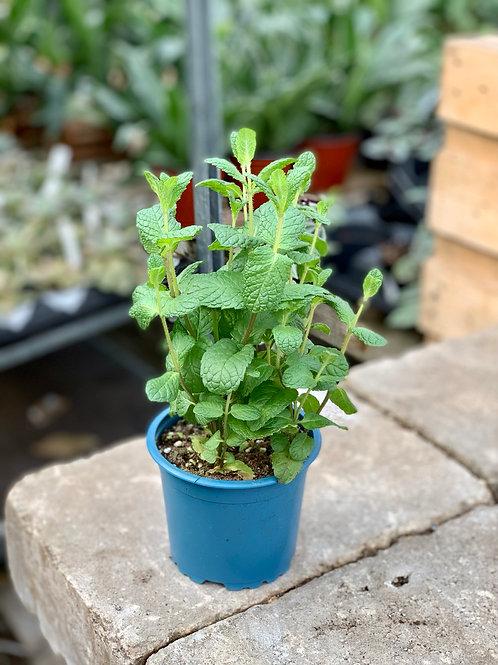 Mint Spearmint Organic