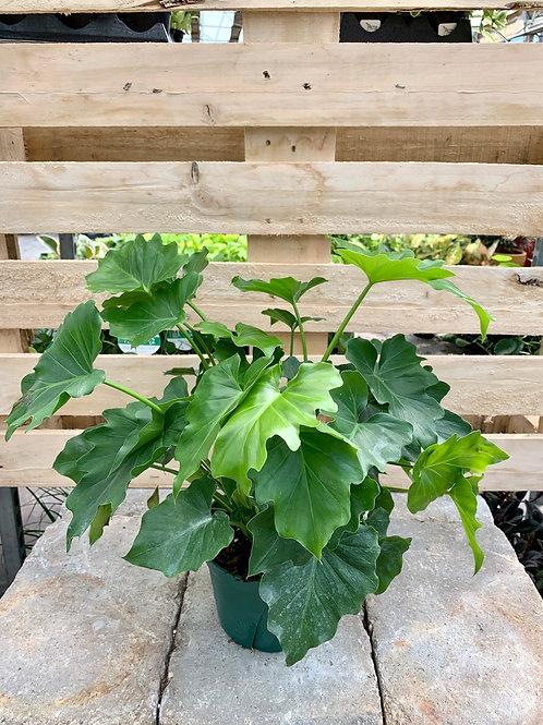 Philodendron Shangri-La