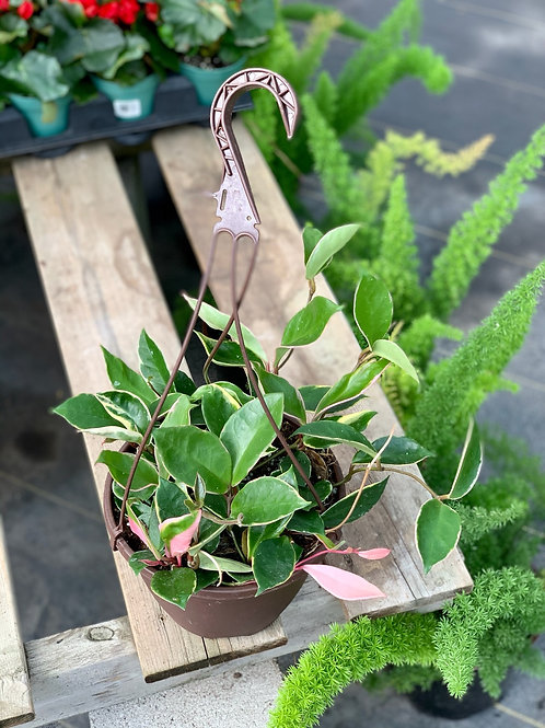 Hoya Carnosa 'Krimson Queen' White Variegated Hanging Basket