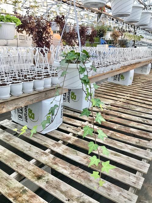 English Ivy Hanging Basket