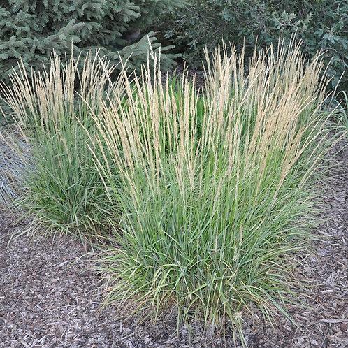 Overdam Reed Grass