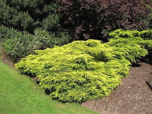 Juniperus 'Gold Coast' Juniper