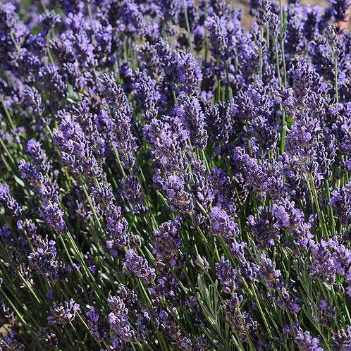 Lavender 'Superblue'