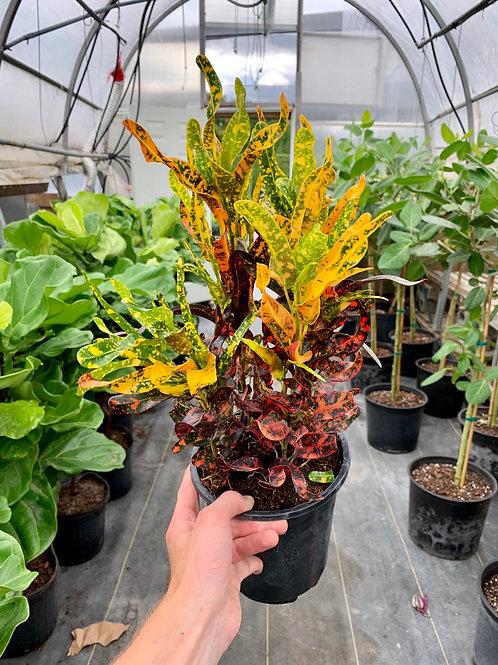 Croton 'Red Batik'