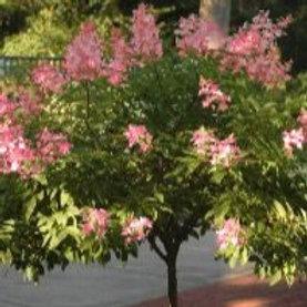 Hydrangea Pink Diamond Standard