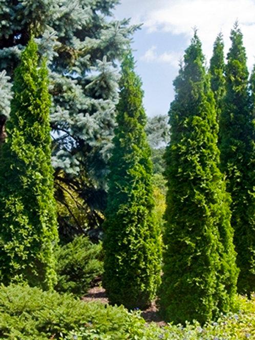 Cedar 'Degroot's Spire'