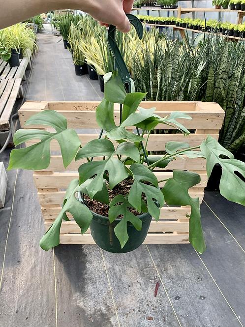 Mini Monstera Hanging Basket