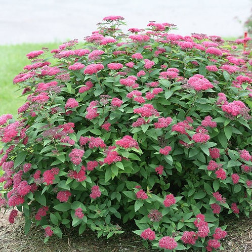 Spirea Double Play Red PW