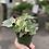 Thumbnail: Variegated Ivy